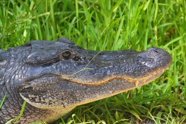 'Gator aid | Image: James Draven