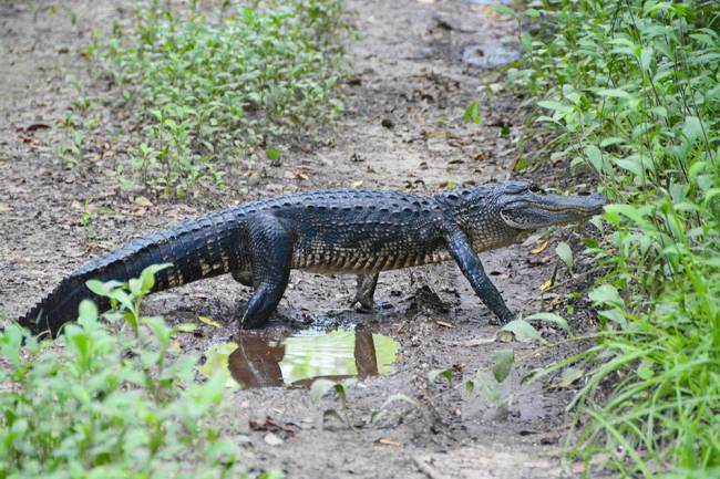 Aligator crossings will never catch on, stick with zebras | Image: James Draven