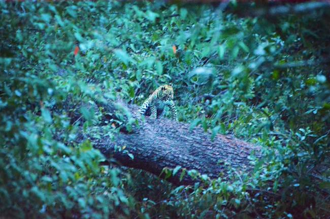 We told you they were hard to spot. A leopard cub at dusk | Image: James Draven