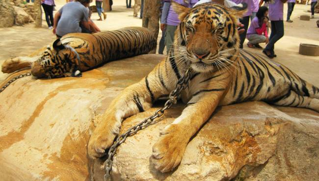Tigers chained to a rock for tourists to pose with | Image: James Draven