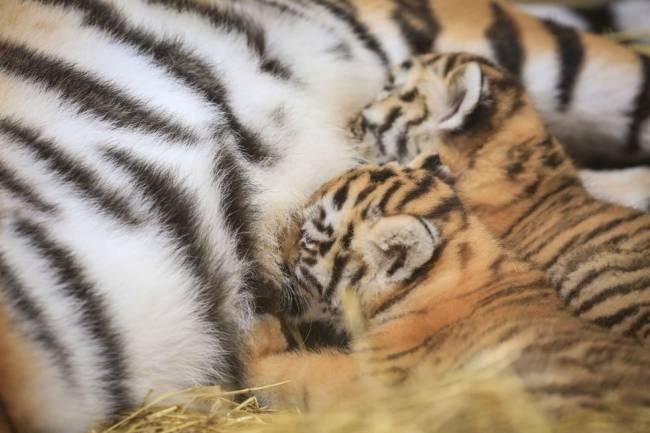 Off-the-scale cuteness | Image: Woburn Safari Park