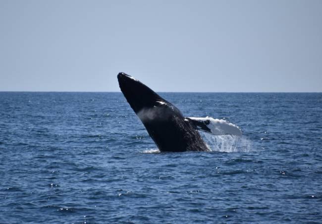 Humpback whale. Image: Lauren Jarvis.