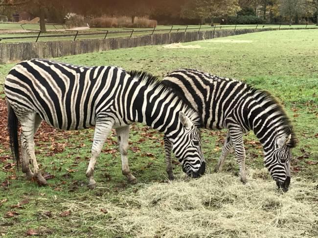 Zebras at the Cotswolds Wildlife Park & Gardens. Image: Lauren Jarvis.