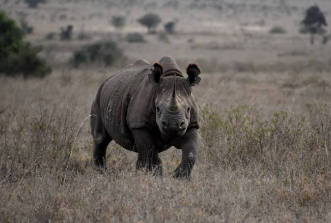 Rhino in Nairobi National Park. Image: Lauren Jarvis.