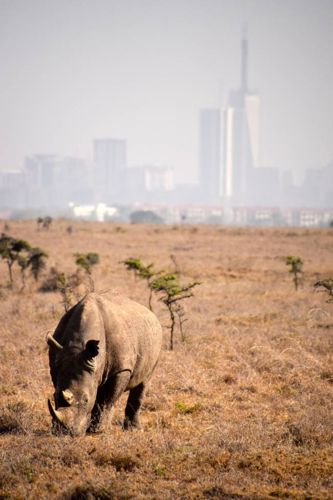 Rhino populations in Africa and Asia are in drastic decline due to habitat loss and poaching. Image: Lauren Jarvis.